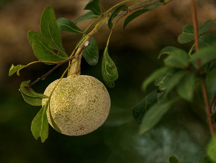 Фото №6 - Фруктовая экзотика: 10 плодов с удивительным вкусом