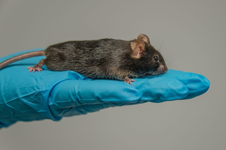 Фото №1 - Ученым удалось восстановить зрение у мышей