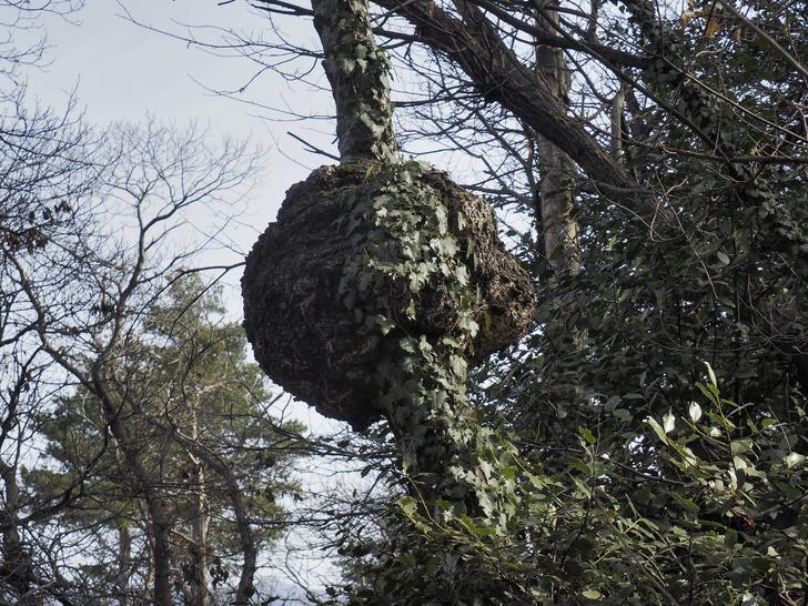 Фото №6 - Загадочные галлы: откуда на растениях появляются странные наросты?