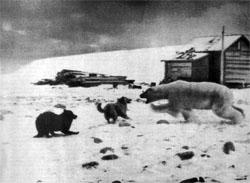 Фото №4 - Белые медведи живут рядом