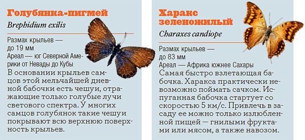 Фото №4 - Жизнь с размахом: энциклопедия бабочек