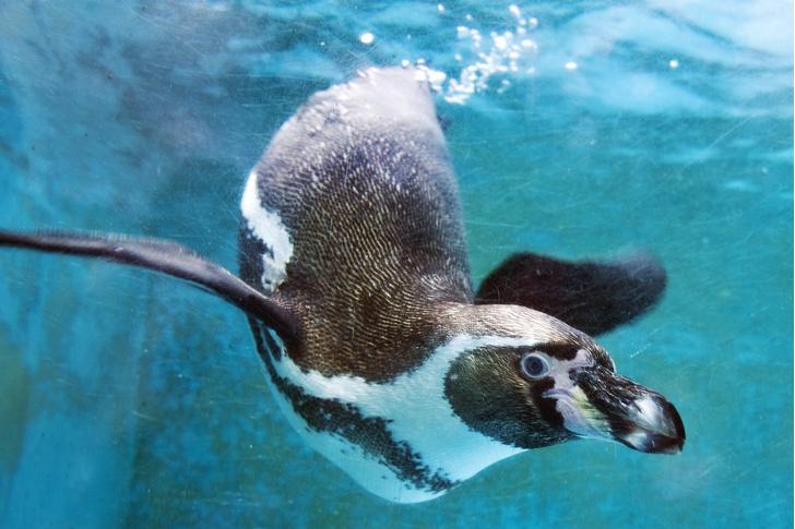 Фото №1 - Ученые выяснили, могут ли пингвины «разговаривать» под водой
