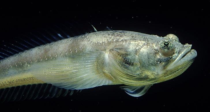 Фото №3 - Архив: Певчие рыбы