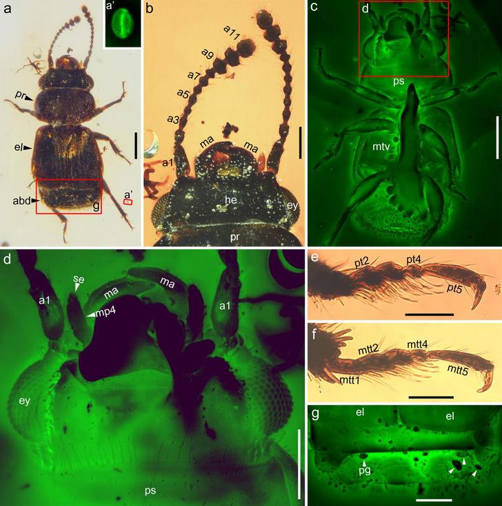 Фото №1 - Обнаружен жук-опылитель времен динозавров
