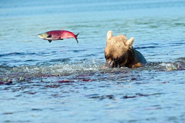 Фото №7 - Вечное возвращение: удивительные факты из жизни лососей