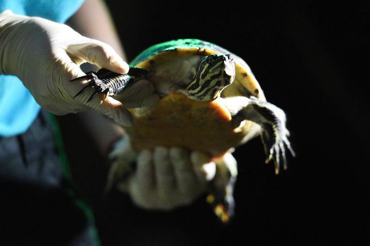 Фото №1 - В Эстонии сбежавшая черепаха вернулась к хозяину спустя три года