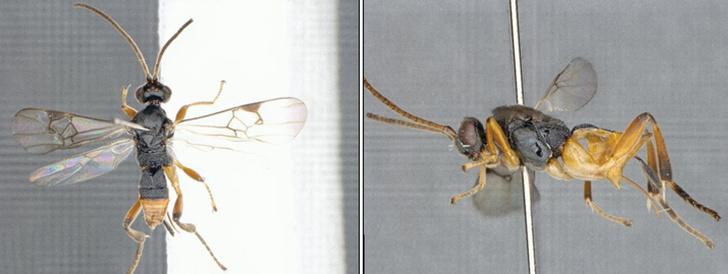 Фото №1 - В Японии обнаружили «осу-годзиллу»