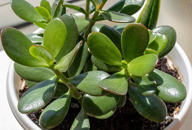 Фото №1 - 6 самых неприхотливых комнатных растений