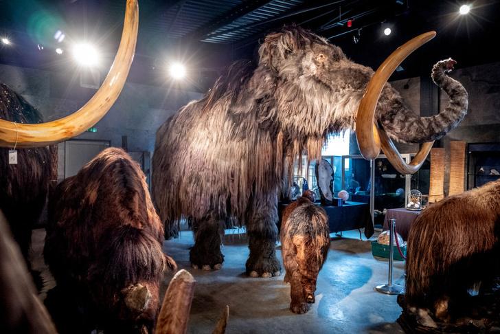 Фото №1 - Ученые планируют «воскресить» мамонтов