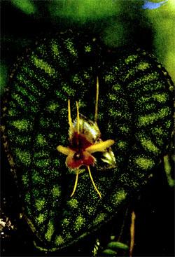 Фото №4 - Итак, что есть орхидея?
