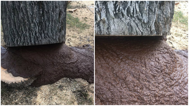 Фото №1 - Дерево распилили, и из него полилась коричневая жижа (видео)