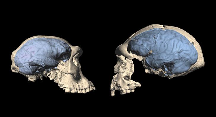 Фото №1 - Когда человеческий мозг принял современный вид?