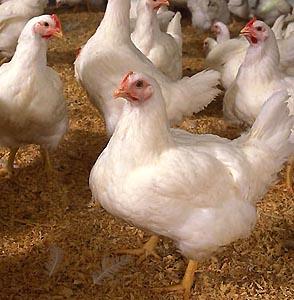 Фото №1 - Во Вьетнаме от птичьего гриппа умерла женщина