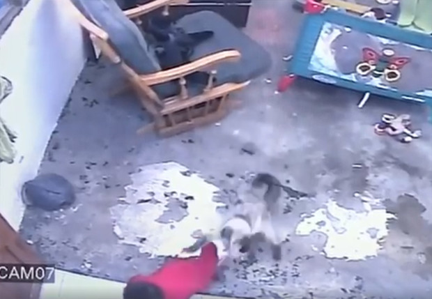 Фото №1 - В Колумбии суперкот спас ребенка от падения с высокой лестницы (видео)