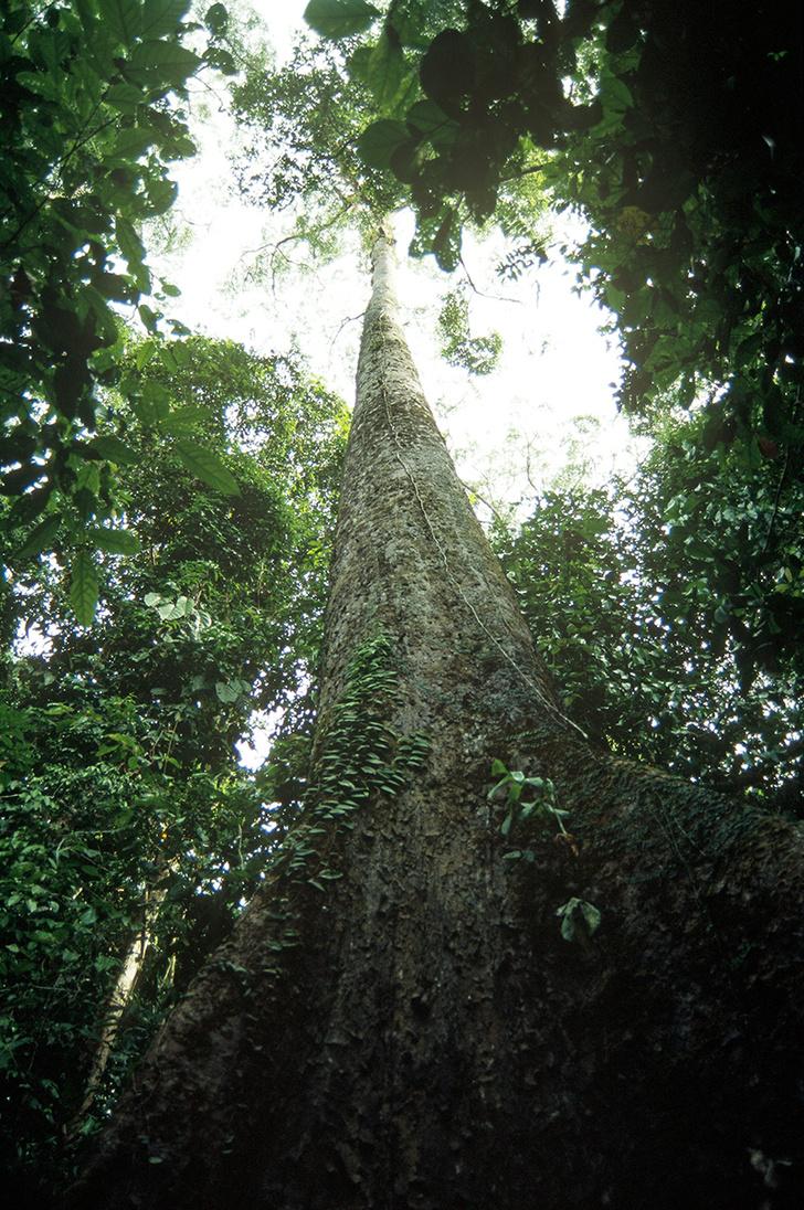 Фото №1 - Найдено самое высокое в мире тропическое дерево