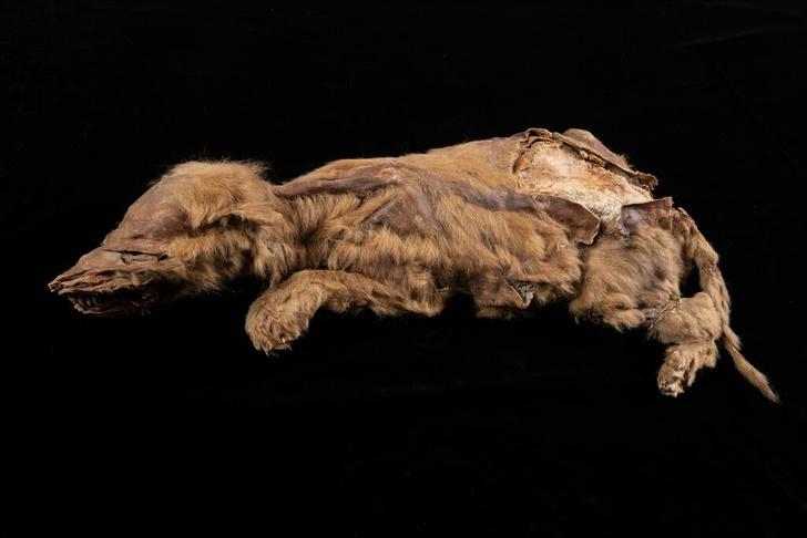 Фото №1 - В Канаде нашли мумию волчонка возрастом 57 000 лет