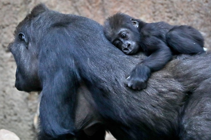Фото №1 - Ученые рассказали, что общего у людей и горилл