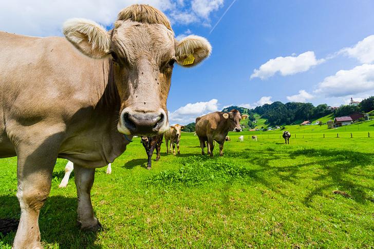 Фото №1 - Коровы делятся на оптимистов и пессимистов