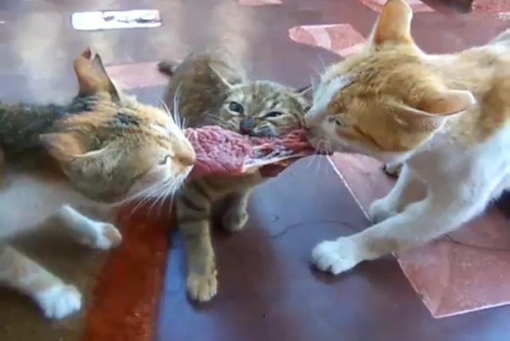 Фото №1 - Двое котов дерутся за кусок мяса, а съедает его третий (видео)
