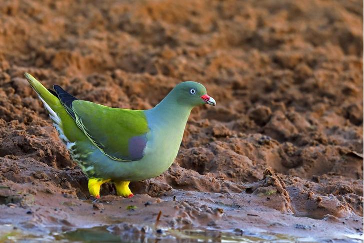 Фото №4 - Редкий, яркий и скрытный: кто такой зеленый голубь
