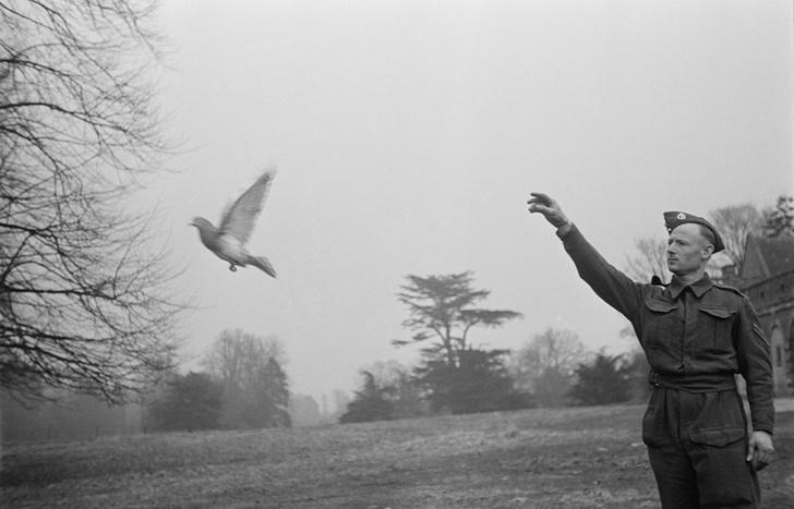 Фото №4 - Птица-навигатор: 7 историй о голубиной почте