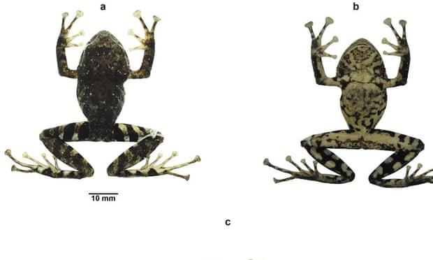 Фото №1 - В Эквадоре новый вид лягушек назвали в честь Led Zeppelin
