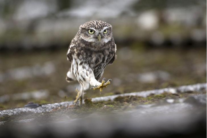 Фото №1 - Умеют ли совы бегать?