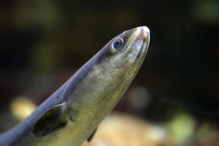 Фото №7 - Деликатес или яд? Самые парадоксальные съедобные рыбы