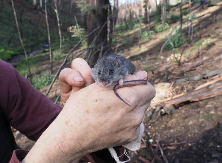 Фото №1 - В Австралии нашли вид мышей, считавшийся потерянным после лесных пожаров