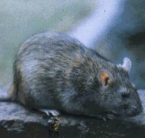 Фото №1 - Крысы расскажут о миграции человека