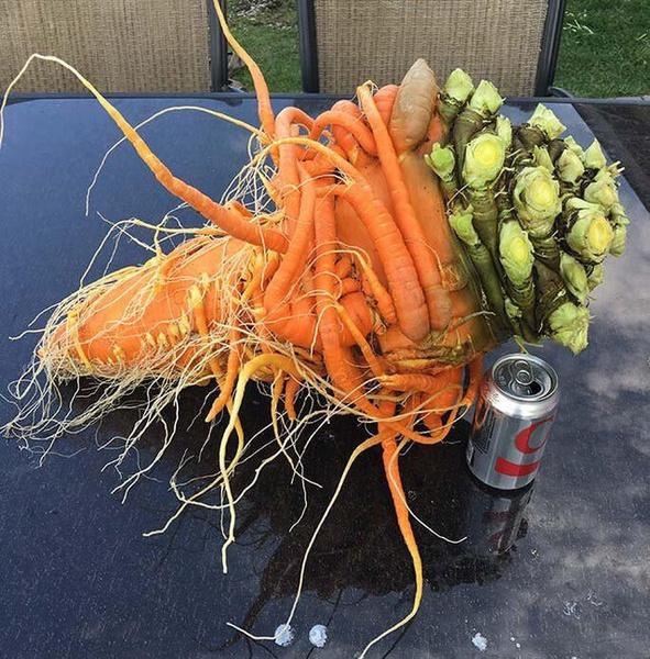 Фото №2 - Размер имеет значение: 30 фото овощей-гигантов