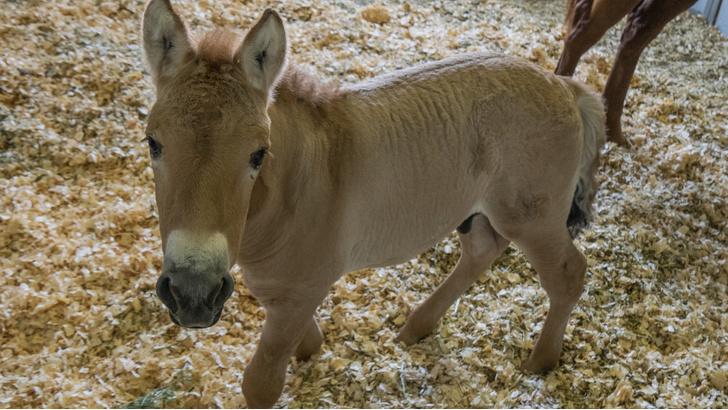 Фото №1 - В США клонировали лошадь Пржевальского
