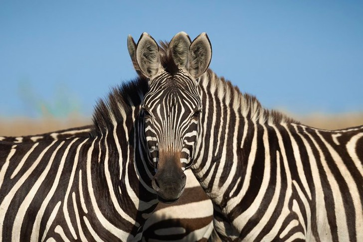 Фото №1 - Новая запутанная фотоиллюзия: левая или правая зебра смотрит в камеру?