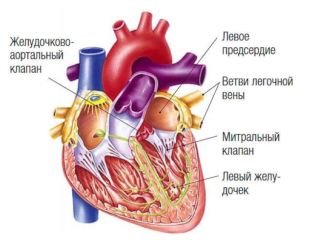 Фото №1 - Почему биение сердца состоит из парных ударов?