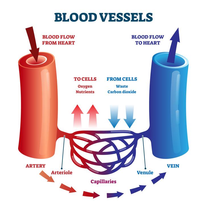 Фото №1 - Почему кровь красная, а вены кажутся синими?