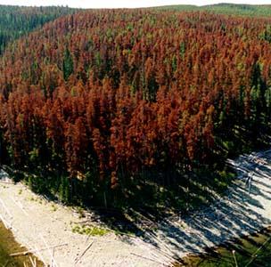 Фото №1 - Жучок объел леса Канады