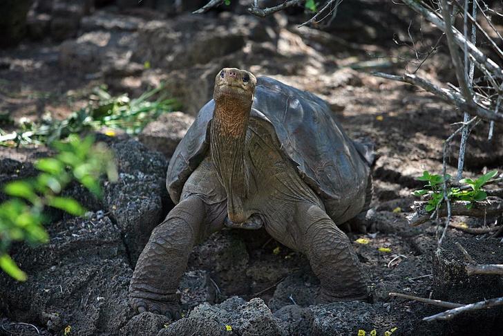 Фото №1 - На Галапагосе нашли потомков исчезнувших черепах