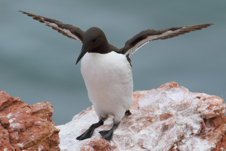 Фото №1 - Пандемия COVID-19 повлияла на морских птиц в Балтийском море