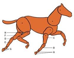 Фото №1 - Почему у слона все четыре колена вперед, а у лошади — два вперед и два назад?
