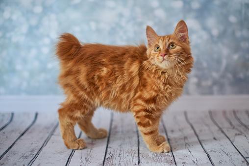 Фото №11 - Почти как люди: самые умные породы кошек