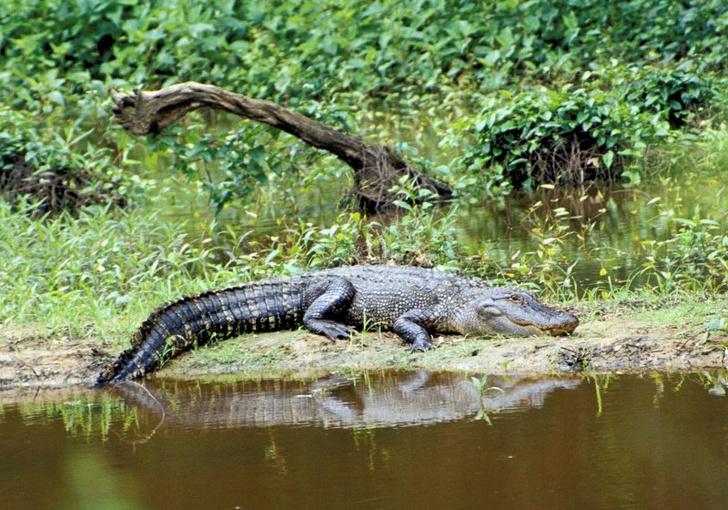 Фото №4 - 5 трогательных фактов про крокодилов
