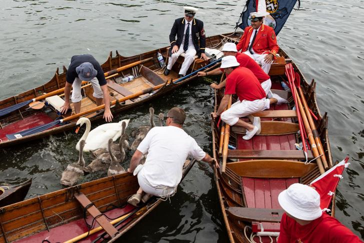 Фото №1 - В Великобритании проходит «инвентаризация лебедей» королевы