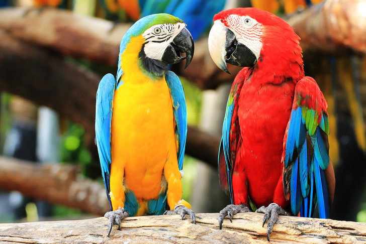 Фото №1 - Найдена причина разговорчивости попугаев
