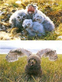Фото №2 - Фанаты белой совы