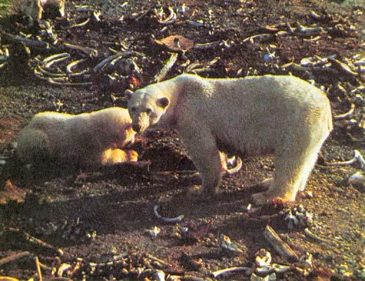 Фото №1 - О белом медведе замолвите слово...