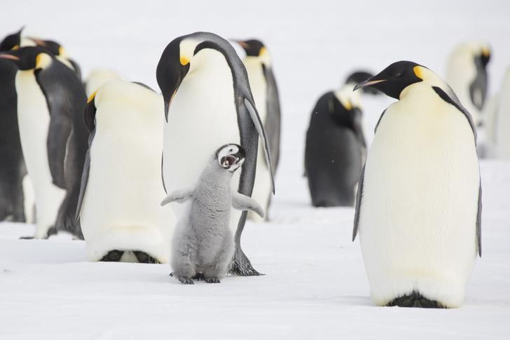 Фото №1 - Голодный пингвиненок