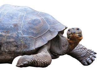Фото №7 - Тише едешь— дольше будешь: долголетие и другие загадки гигантских черепах