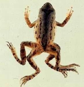 Фото №1 - Лягушки-уроды появляются из-за загрязнения прудов удобрениями