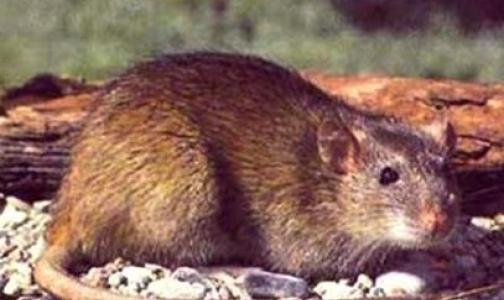 Фото №1 - Не более 80% домов в Петербурге заселено крысами. Это норма
