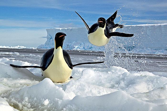 Фото №1 - Почему пингвины не летают